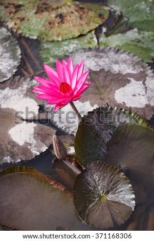 Water lily, Lotus in the pond