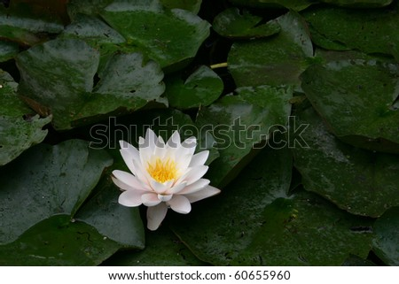 Water lily (Nymphaea alba) - stock photo