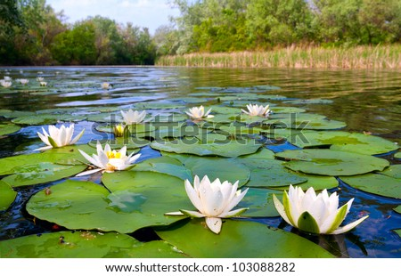 water lily  on pond - stock photo