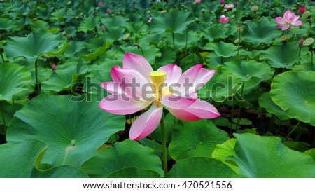 water lily pink flowers and leaves natural background