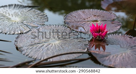 Water lily pink pond tranquil scene Trinidad and Tobago nature - stock photo