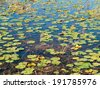 Water lily plants floating on water - stock photo