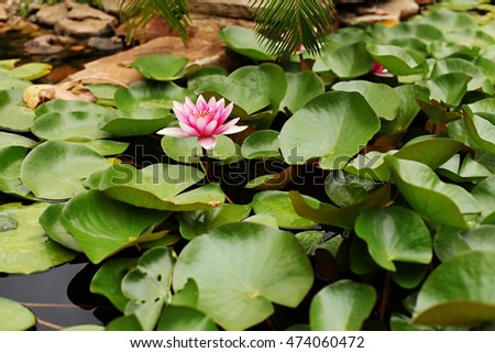 Water lily pond in the garden. Many green leaves on water and pink flowers. Sandstone on background.