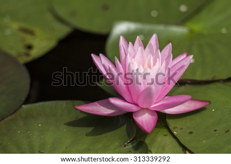 Water lily reflected on the surface of the water.