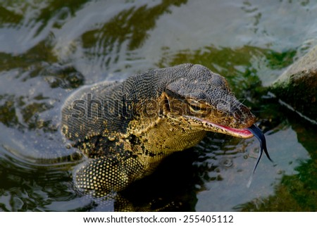 Water monitor caught a catfish, Melaka, Malaysia - stock photo