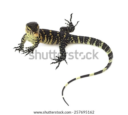 water monitor isolated on white background, lizard - stock photo