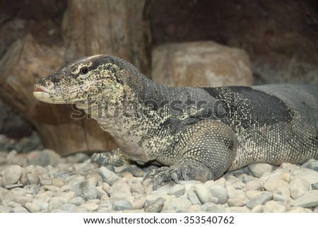Water monitor lizard with tongue and big neck, due to eating (Varanus salvator)  - stock photo