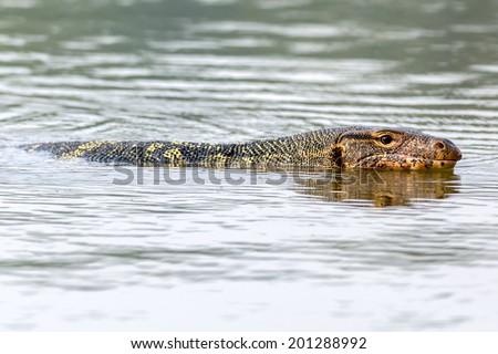 Water Monitor or Varanus salvator in swamp focus eyes animal reptile swimming - stock photo