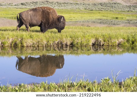 Water reflection of Bison in Yellowstone. - stock photo
