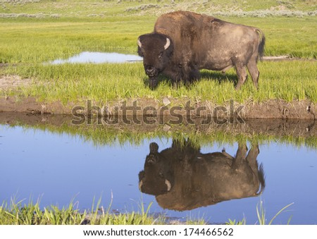 Water reflections of a large Bison in Yellowstone National Park. - stock photo
