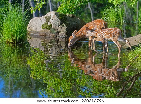 Water reflections of two baby deer. - stock photo