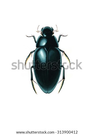 Water Scavenger Beetle (Hydrophilus aterrimus) isolated on white background, acrylics on watercolor paper - stock photo