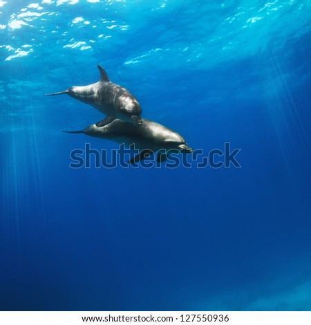 water surface and two funny nice dolphins diving underwater - stock photo