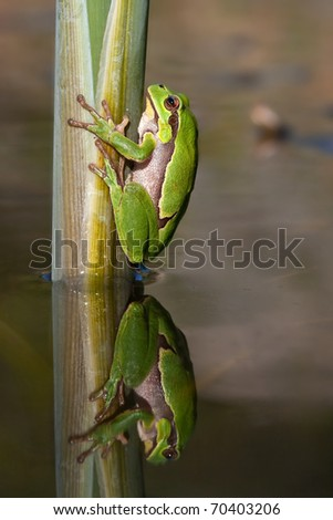 Water-table of tree frog