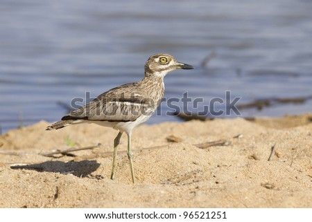 Water Thick knee (Burhinus vermiculatus) South Africa
