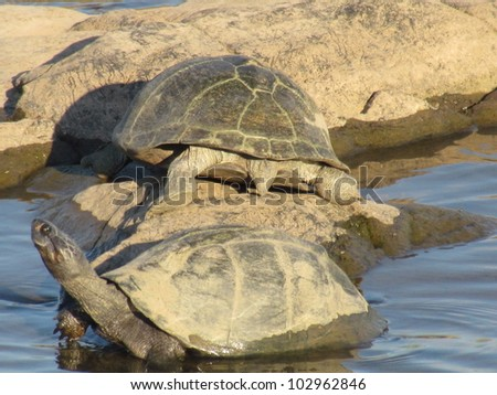Water Tortoise. - stock photo