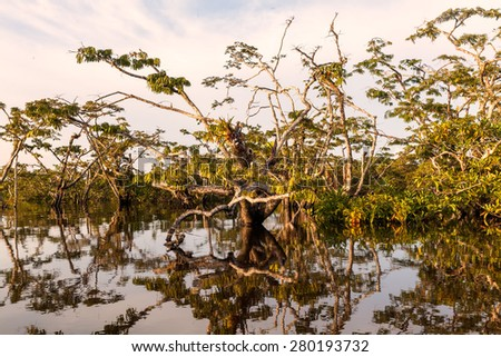 Water Trees Are Found In Tropical And Subtropical Tidal Areas, Cuyabeno Wildlife Reserve  - stock photo