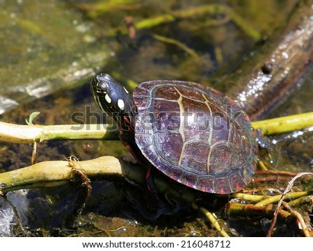 Water Turtle,