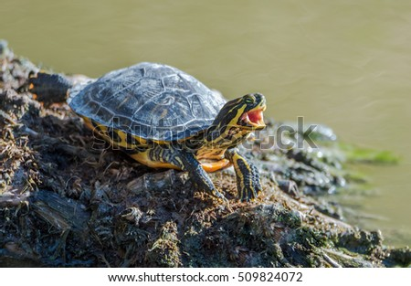water turtle, wild life