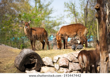 Waterbuck antelope together on sunny day  - stock photo