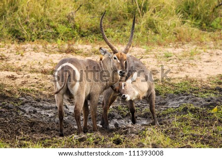 Waterbuck fighting in the mud