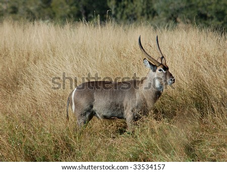 Waterbuck (Kobus ellipsiprymnus) in the Kruger Park, South Africa.
