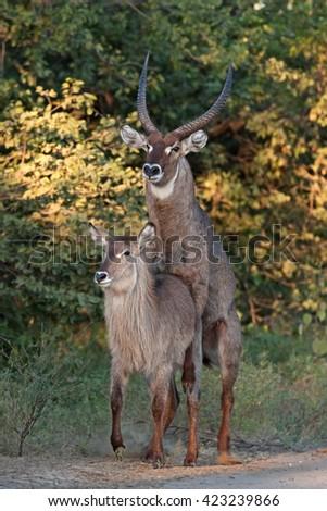 waterbuck, kobus ellipsiprymnus, Kruger national park, South Africa - stock photo