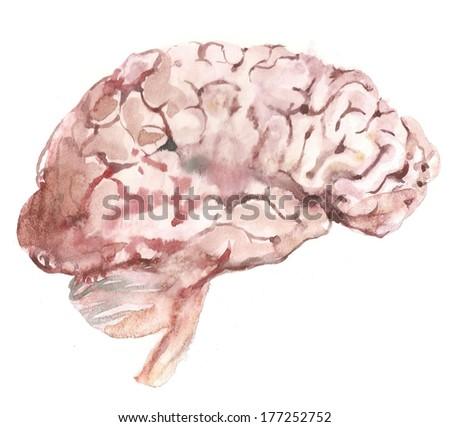 Watercolor brains illustration - stock photo