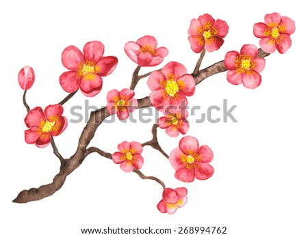 Watercolor branch blossom sakura, cherry tree with pink flowers closeup isolated on white background. Hand painting on paper - stock photo