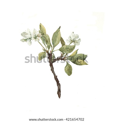 Watercolor cherry tree branch isolated on white. Botanical illustration. Blossom. Spring. Garden.