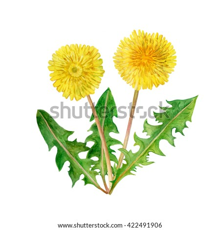 Watercolor drawing of spring flowers Taraxacum, blowball. Hand drawn painting of beautiful dandelion plant. Spring flowers bouquet. Asteraceae family, Cichorieae tribe. Taraxacum officinale