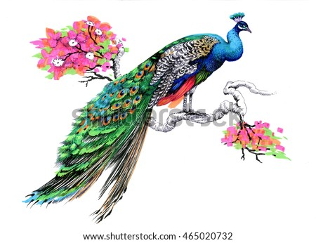 Watercolor drawing peacock on blooming tree branch on white background