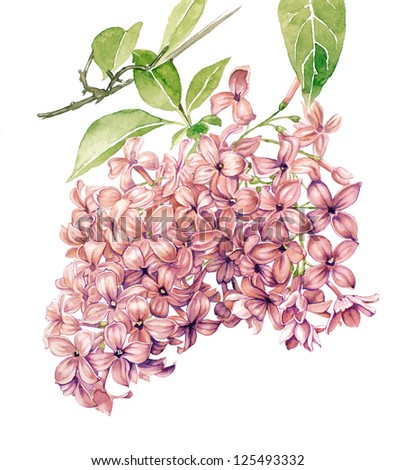 Watercolor drawing with Lilac flower in blossom - stock photo