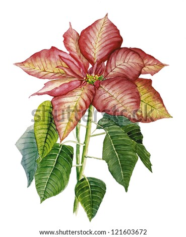 Watercolor drawing with poinsettia - stock photo