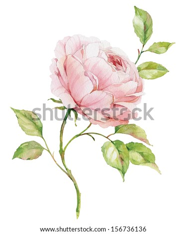 Watercolor English rose - stock photo