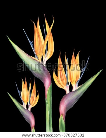 Watercolor exotic and tropical strelitzia (bird of paradise) flower. Botanical illustration.