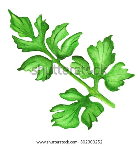 Watercolor green leaves parsley, sprig closeup isolated on white background. Hand painting on paper - stock photo