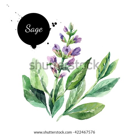 Watercolor hand drawn bunch of flowering sage. Isolated organic natural herbs illustration on white background - stock photo