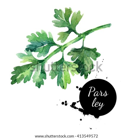 Watercolor hand drawn parsley. Isolated organic natural herbs illustration on white background - stock photo