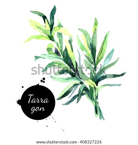 Watercolor hand drawn tarragon. Isolated eco natural herbs illustration on white background - stock photo