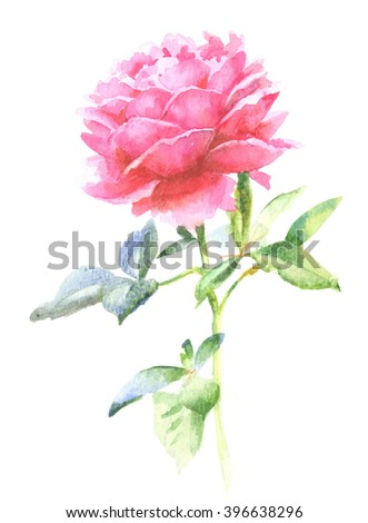 Watercolor hand paint pink rose, illustration on a white background