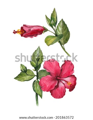 Watercolor hibiscus flower illustration - stock photo