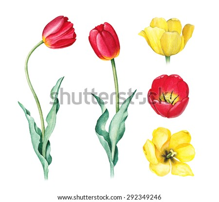 Watercolor illustration of tulips - stock photo