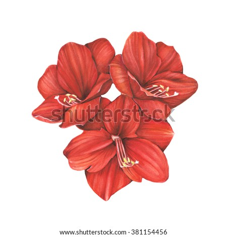 Watercolor illustration. Red amarylis flowers. Beautiful botanical illustration. Realistic painting. Floral motive, spring mood. Decoration element for design (cards, wedding invitations etc)