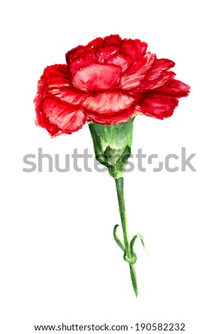 Watercolor image of red flower of carnation on white background