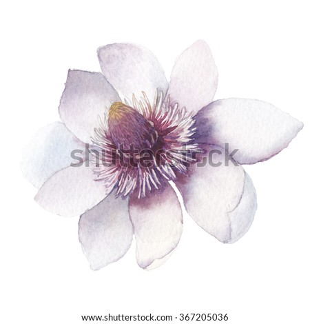 Watercolor magnolia. Hand painted botanical illustration. Single flower isolated on white background. Artistic natural object - stock photo
