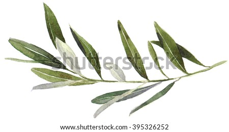Watercolor olive branch on white background. Hand drawn watercolor illustration, painting the olive tree. - stock photo