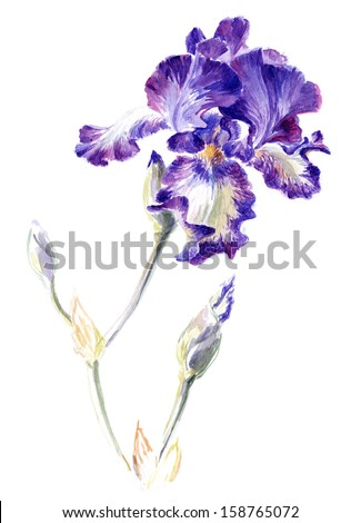 """Watercolor on white iris cultivar """"Stepping Out"""" - stock photo"""