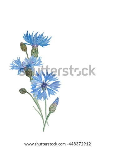 Watercolor painting blue cornflower and leaves isolated on white. Design for invitation, wedding or greeting cards