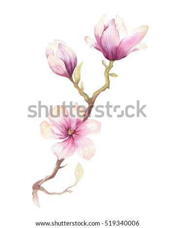 Watercolor Painting Magnolia blossom flower wallpaper decoration art. Hand drawn isolated closeup tree floral illustration. Decorative natural flowers element. Vintage art watecolour background.
